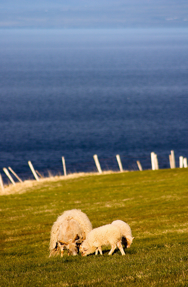 Schafe am Fjord