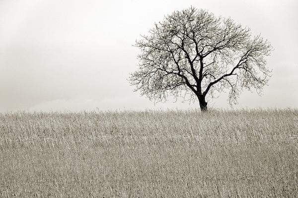 Kraichgau - Baum im Kornfeld
