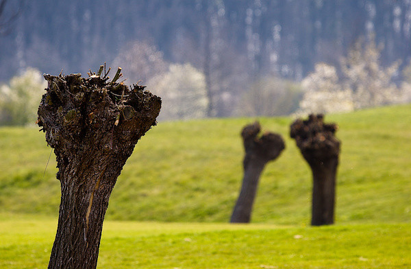 Kopfweiden auf einem Golfplatz