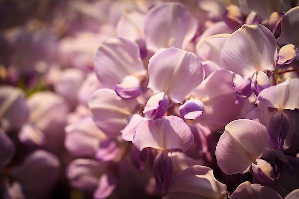 Glyzinienblüte I