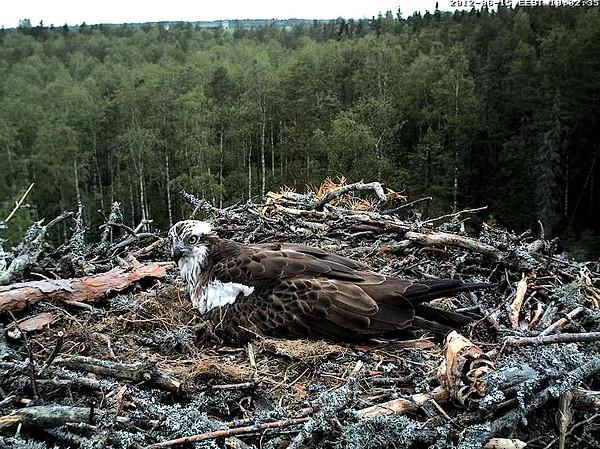 Livecam eines Fischadler-Nestes