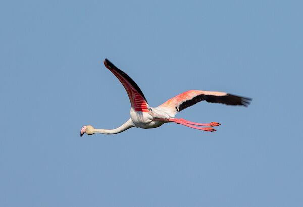 Ein Flamingo im Flug