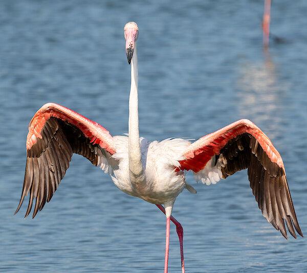 Ein Flamingo streckt sich