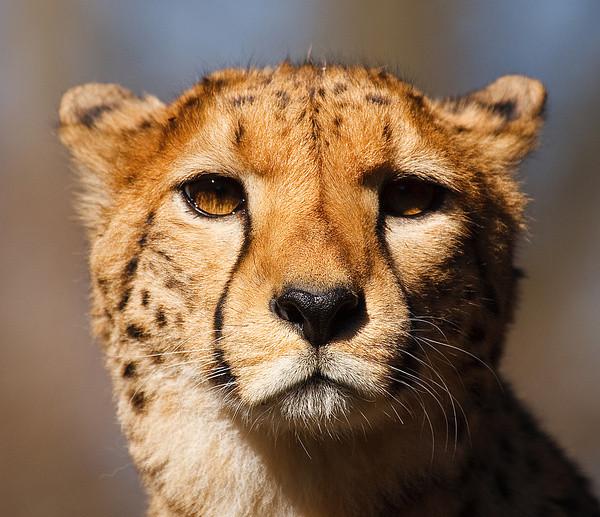Gepardin I