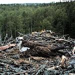 Live dabei sein, wenn in Estland die Küken eines Fischadlers schlüpfen