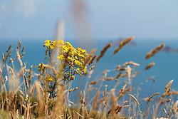 Küstengräser