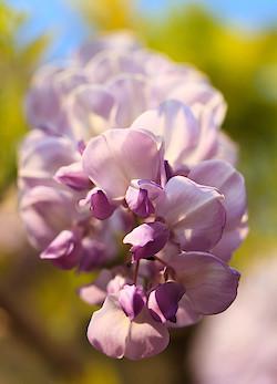 Glyzinienblüte II