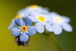 Blaue Blüte II