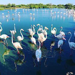 Flamingos im Parc Ornithologique de Pont de Gau