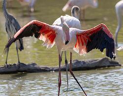 Ein Flamingo zeigt sein Federkleid