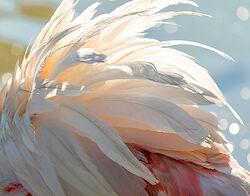 Die Federn eines Flamingos im Wind