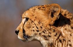 Gepardin II