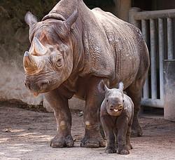 Nashornmutter mit Nashornbaby I