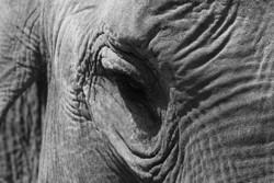 Elefant I