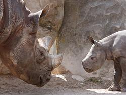 Nashornmutter mit Nashornbaby II