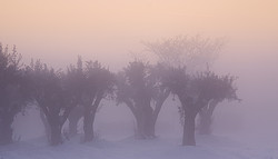 Olivenbäume in Schnee und Nebel